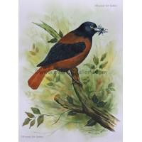 Maroon Oriole Bird